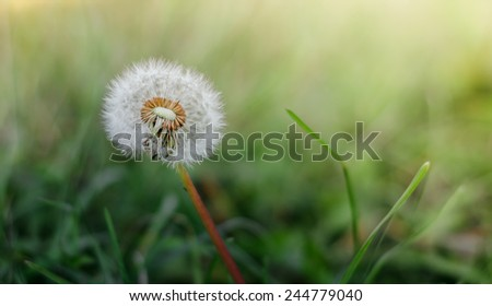 Dandelion in the morning sun on fresh green background