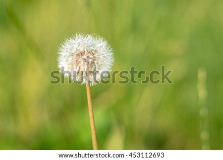 Dandelion in the summer light