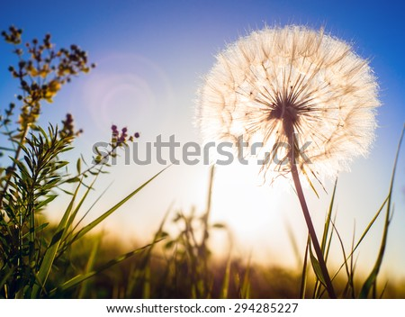 Dandelion in the sunset. Romantic horizontal composition.