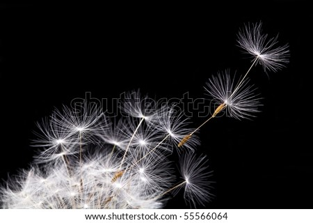 Dandelion in the wind, isolated on black background. - stock photo