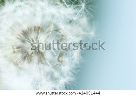 dandelion in the wind, macro - stock photo