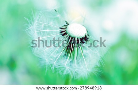 Dandelion in the wind on a turquoise background