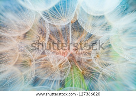 Dandelion inside,macro photography - stock photo