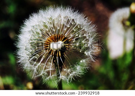 Dandelion is a genus of perennial plants of the family Compositae. - stock photo