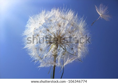 Dandelion is ready to fly on a background a bright blue sky - stock photo