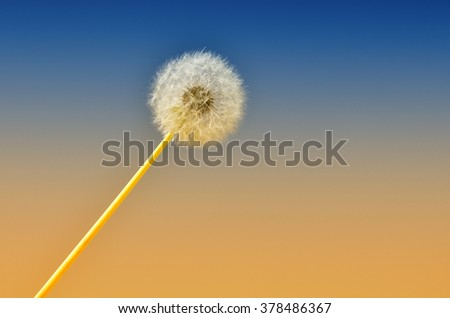 Dandelion isolated on the sky at sunset