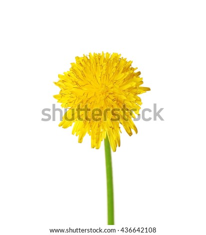 Dandelion isolated on white