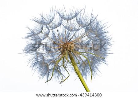 Dandelion isolated on white background, close up - stock photo