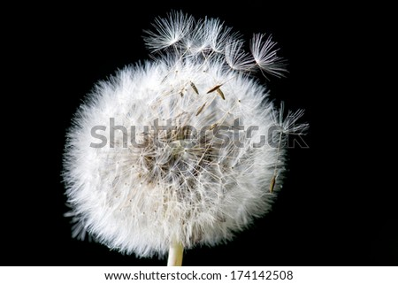 Dandelion loosing its seed in the blowing wind - stock photo