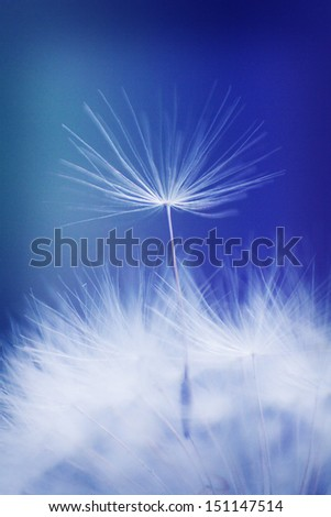 Dandelion macro - stock photo