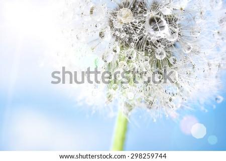 dandelion macro - stock photo