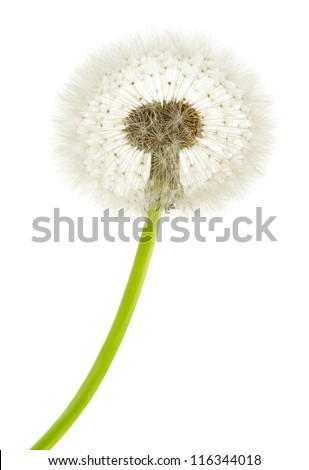 dandelion macro isolated on white background - stock photo