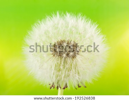 Dandelion (macro) on green background - stock photo