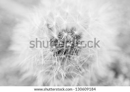 Dandelion Macro picture in black and white - stock photo