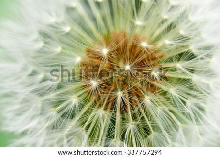 Dandelion, mature inflorescence detail - stock photo