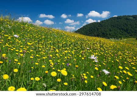 Dandelion Meadow at Gornje bare, Zelengora mountains - stock photo