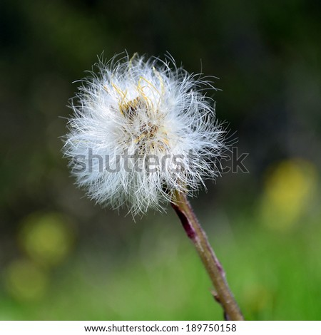 dandelion mother and stepmother,Coltsfoot (Tussilago farfara L.) flowers in the spring forest - stock photo