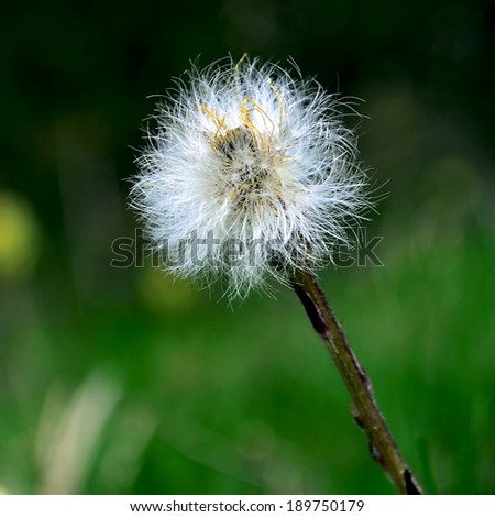 dandelion mother and stepmother,Coltsfoot (Tussilago farfara L.) flowers in the spring forest