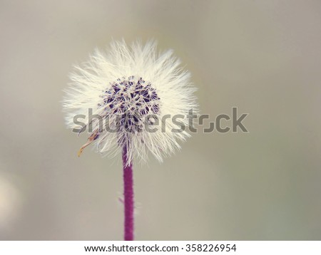 dandelion of withered daisy; shallow depth of field; vintage filter effect - stock photo