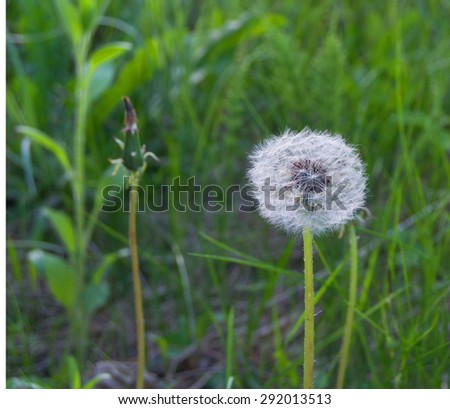 dandelion on a background of grass in the forest