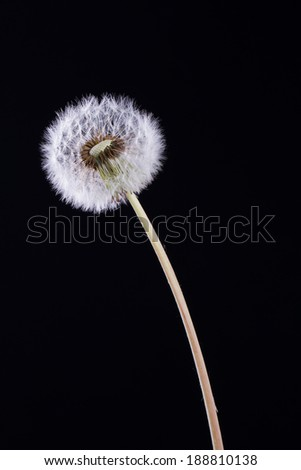 Dandelion on a black background - stock photo