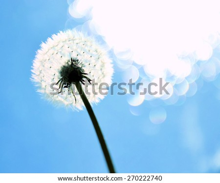 dandelion on a blue background - stock photo