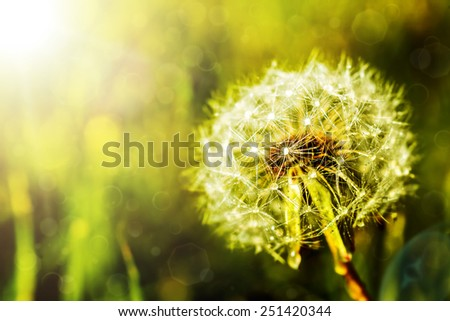 dandelion on a green background - stock photo