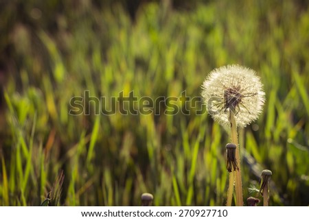 Dandelion on a meadow at sunset as a background - stock photo