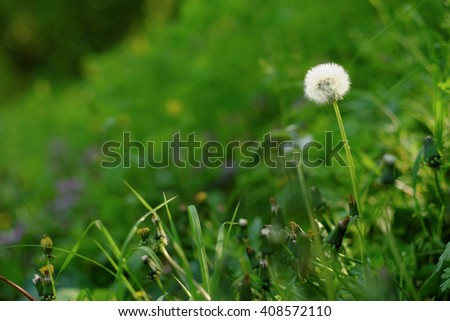 Dandelion on a spring meadow