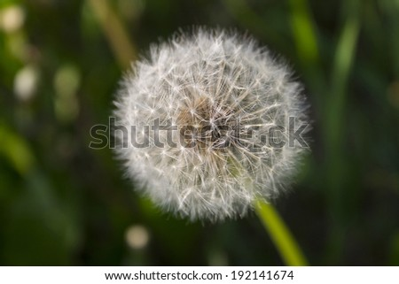 dandelion on abstract background - stock photo