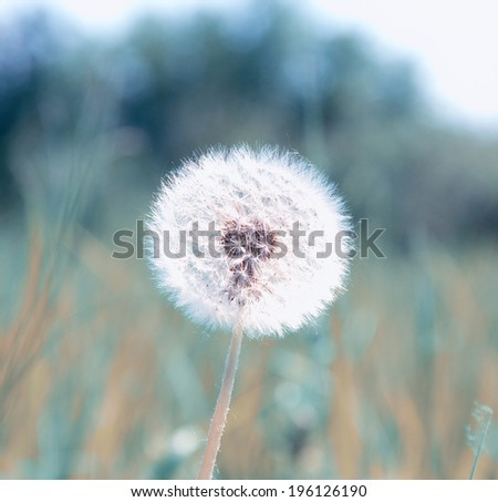 dandelion on background meadow - stock photo
