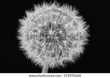 Dandelion on black - stock photo