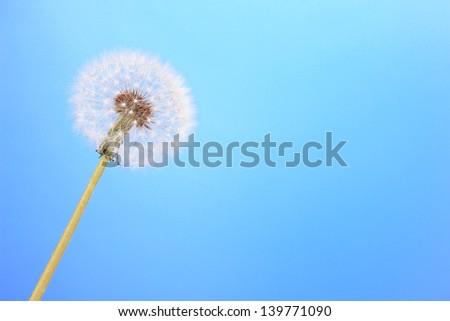 Dandelion on blue background - stock photo