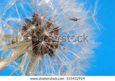Dandelion on blue sky covered with drops of water