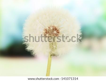 Dandelion on bright background - stock photo