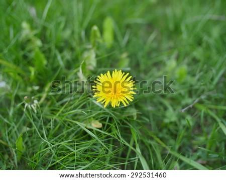 dandelion on green background - stock photo