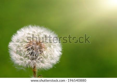 Dandelion on green grassy background - stock photo