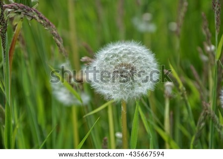 Dandelion on green meadow - stock photo