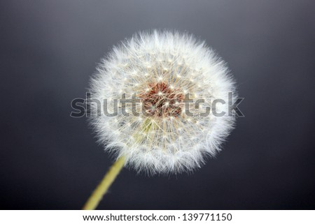Dandelion on grey background - stock photo