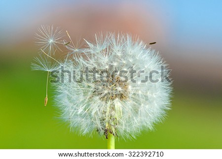 dandelion on the green background