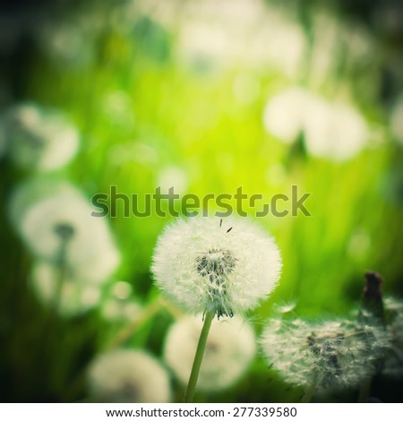 Dandelion on the meadow at sunlight background. Dark Vignette and selective focus - stock photo