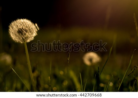 Dandelion on the meadow in the sunlight - stock photo