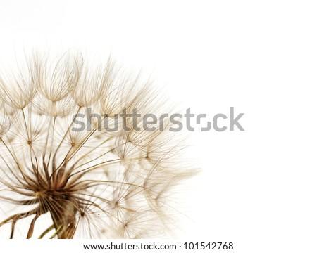dandelion on white background - stock photo