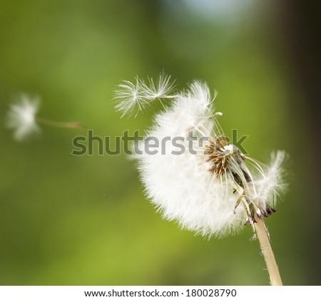 Dandelion on wind - stock photo
