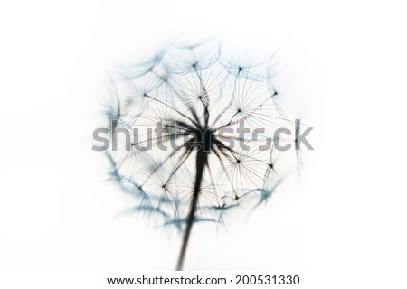 Dandelion or Western Salsify Seed Head on white background