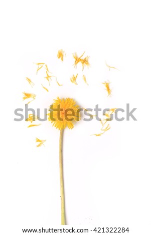 dandelion petals scattered through isolated on white background top view of a flat style