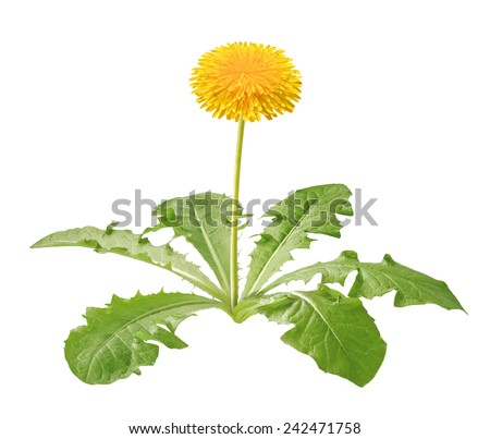 dandelion plant isolated - stock photo
