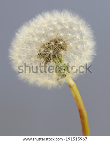 Dandelion seed ball on a grey background.