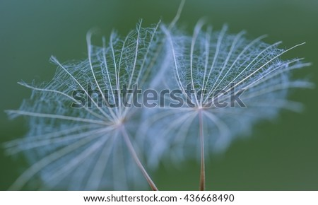 Dandelion seed in big close up. Close up of dandelion umbrella. Natural seed of flower. - stock photo