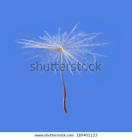 Dandelion seed on a blue sky background.Close up